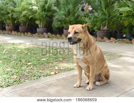 the thai fat strayed dog is sitting on the ground