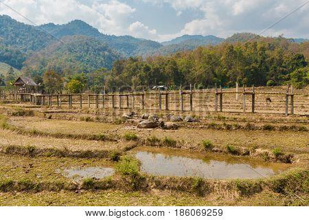Buffalos Close Buddha Bamboo Bridge