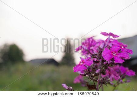 Beautiful Pink Flower Phlox On Blurred Background Of Village.