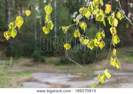 Natural Background. Sunlit Hanging Down Birch Branches On Green Forest Background.