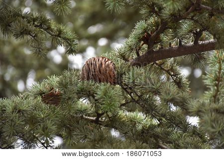 Pinecone, autumn fruit on the branch of pine