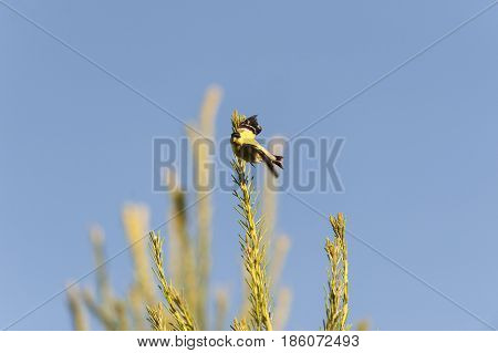 Male American Goldfinch makes eye contact while launching into flight