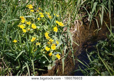 Buttercup blossoming by the creek. nature and flowers