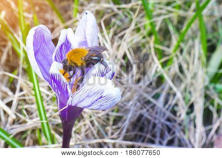 Bee bumble bee on the first spring flower of crocus