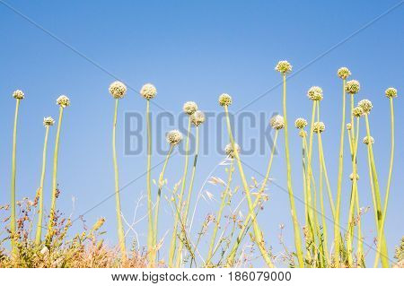 Abstract photo of unusual looking plant stems round tops. Maltese countryside vegetation flora and fauna