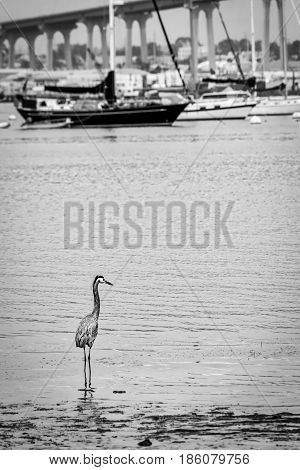 A crane standing in the water off Tidewater Park in Coronado California.