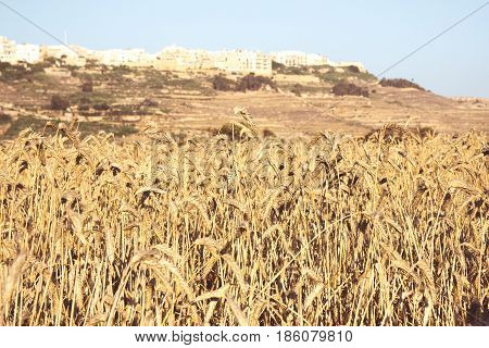 Fields of wheat on a sunny day portrait orientation in Malta Gozo rural life in Malta.