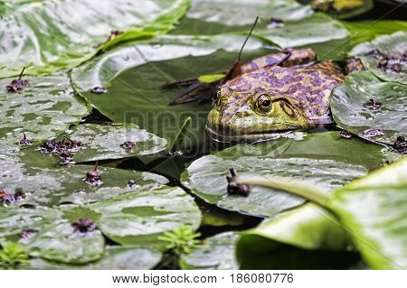 American Bullfrog (Rana catesbeiana) is an invasive species of frog introduced to China in 1959. Chengdu China