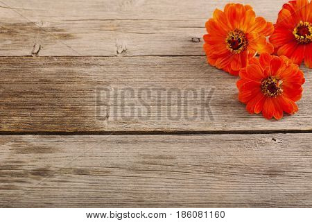 the zinnia flower on old wooden background