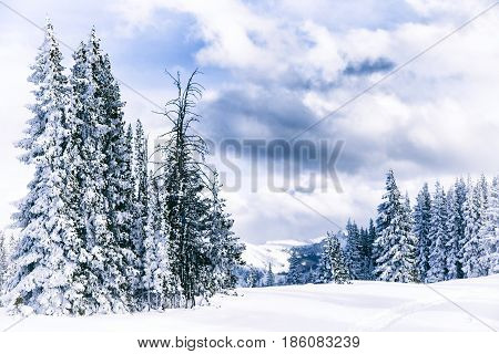 Snow covered pine trees in Aspen Colorado
