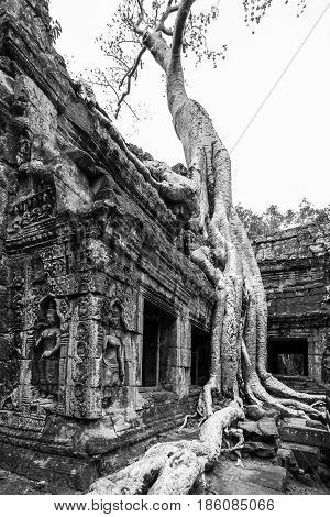 Overgrown tree roots at Ta Prohm Temple in Siem Reap, Cambodia