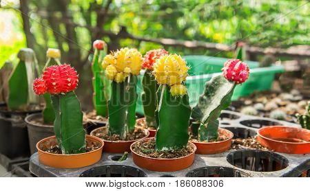 cactus in desert cactus on rock cactus Nature green background or wallpaper domestic cactus closeup. cactus tree
