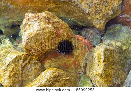 Sea Urchin On Rocks Of Breakwater In Bali, Crete