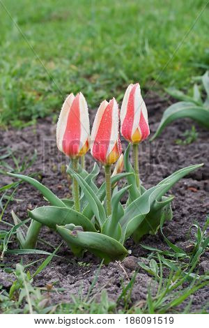 Tulipa Greigii 'authority' In Early Morning