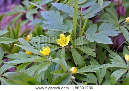 Anemone Ranunculoides (yellow Anemone Or Buttercup Anemone)