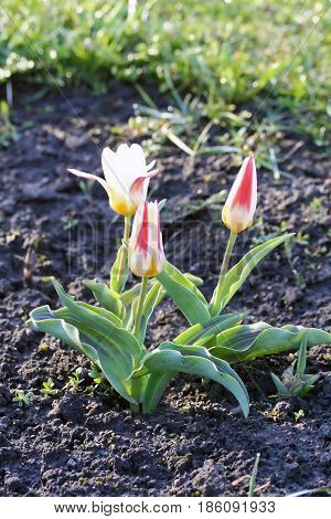 Tulipa Kaufmanniana 'johann Strauss'  In Early Morning