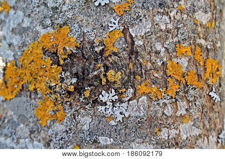 Aged Wood Cortex Texture With Lichens