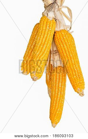 Freshly picked corn on the cob on a white background