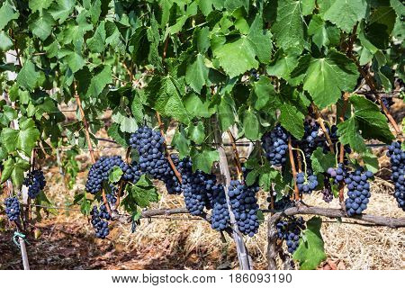 Grape clusters growing red vine grapes vineyard