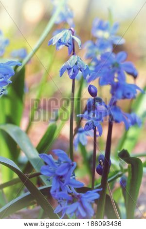 Scilla Siberica (siberian Squill Or Wood Squill)