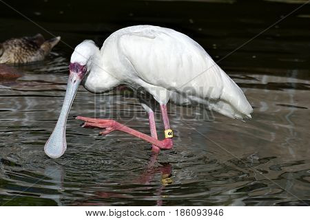 Tropical Spoonbill bird wading at the water's edge Florida, USA.
