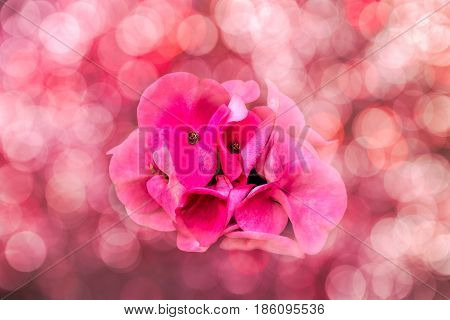 Pink Crown of Thorns flower with bokeh background