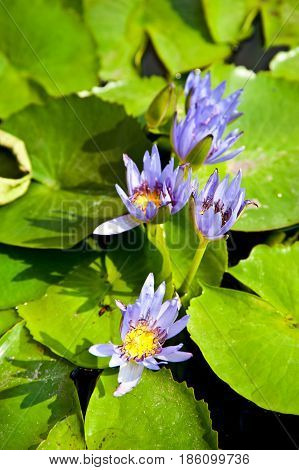 Lotus in swamp,4 Lotus flower in garden