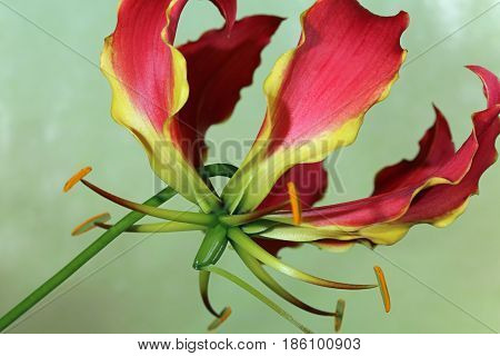 Gloriosa Lily (Gloriosa superba) against green background