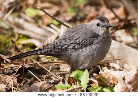 A Gray Catbird looking for food in the leaf litter.