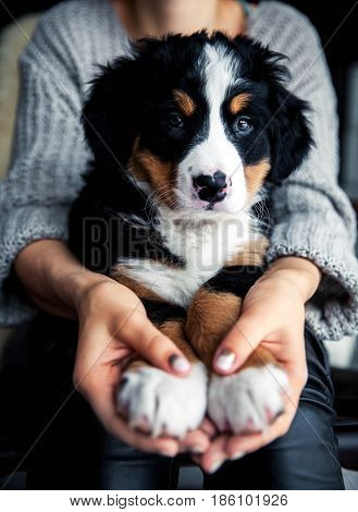 little puppy of bernese mountain dog on hands of fashionable girl with a nice manicure. animals, fashion a