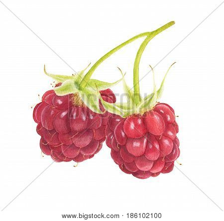 Two Watercolor Raspberries Isolated On White Background.