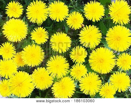 Yellow dandelions. Bright flowers dandelions on background of green meadows