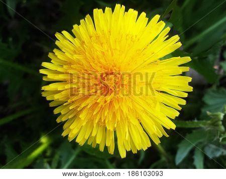 Yellow dandelion. Bright flower dandelion on background of green meadow.
