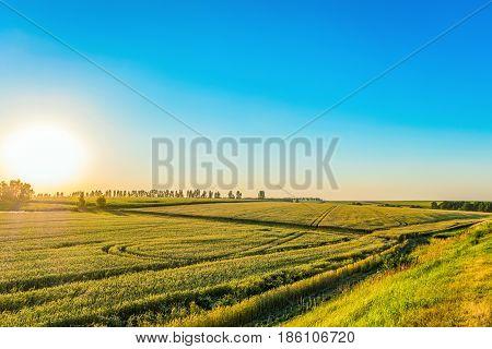 Green crop grains field in the rays of low sun. Rural landscape in backlit sunlight. Belgorod region Russia.