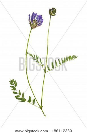 Pressed and dried flowers astragalus (astragalus dasyanthus) isolated on white background. For use in scrapbooking pressed floristry (oshibana) or herbarium.