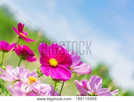 Fresh Smmer field and sky with pink fresh cosmos flowers