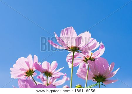 Smmer bright blue sky with pink fresh cosmos flowers