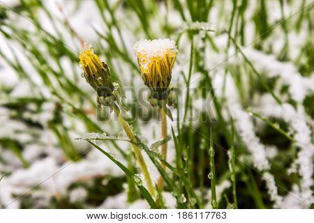 11.05.2017 Minsk Belarus dandelions in snow in spring