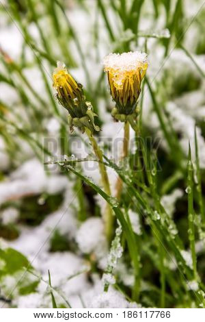 dandelions in snow May 11 2017 year Minsk Belarus