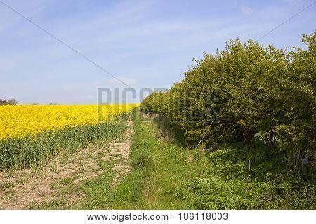Oilseed Rape Crop And Hawthorn Hedgerow