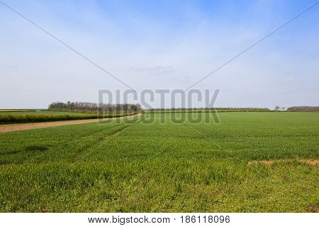 Wheatfields In Springtime