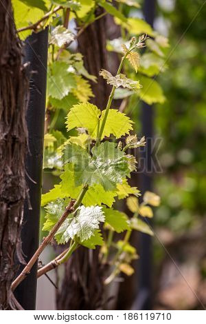 Grapevine in spring with young leaves. Young grapevine leaf.