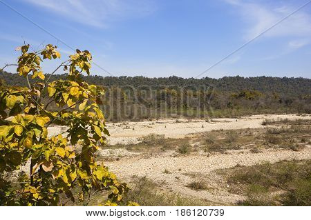Dry River Bed And Teak Tree