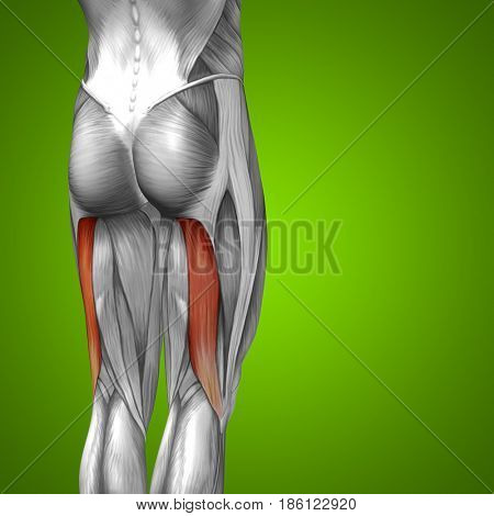 Concept conceptual 3D illustration fit strong back upper leg human anatomy, anatomical muscle isolated green background for body medical health tendon foot and biological gym fitness muscular system