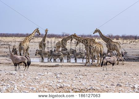 wild animals at a water hole in Namibia Africa