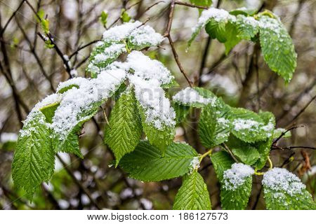 anomalous spring in Belarus snow on branch of blooming tree in May 2017