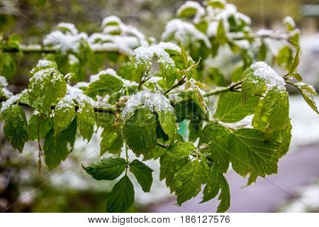 cold spring 2017 in Belarus snow fell in May