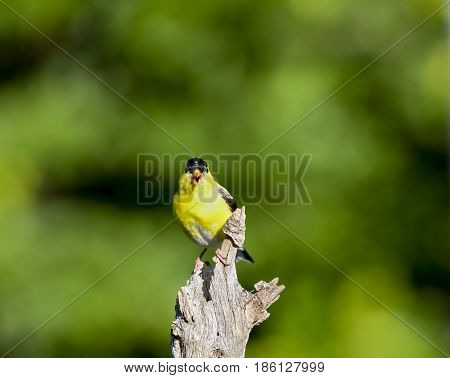 American Goldfinch male vocalizing from old stump