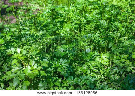 Fresh Leaves Of Young Parsley, Healthy Food