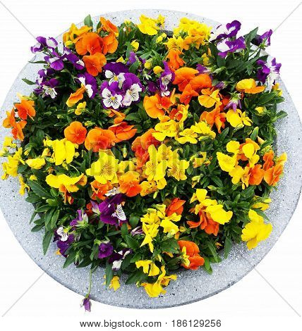 flower bed Pansy. flowerbed of viola hybrid